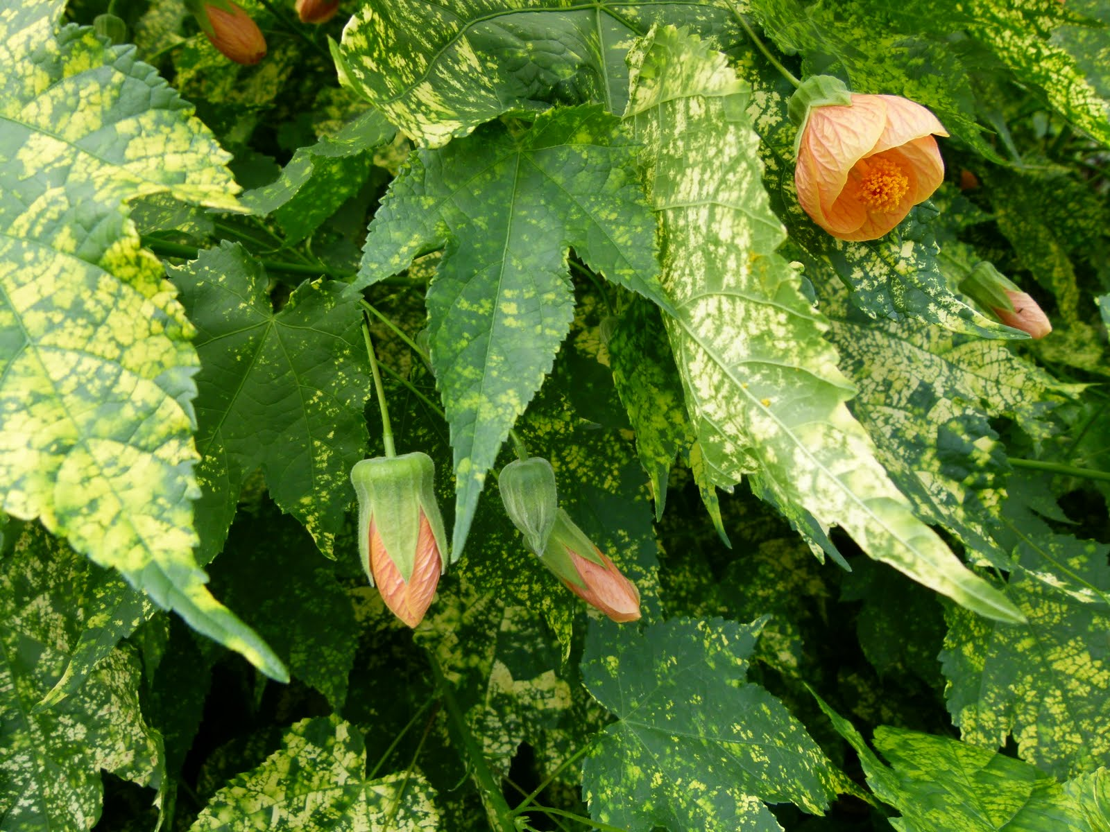 File abutilon pictum serres du wikimedia - Plantas para jardin exterior ...