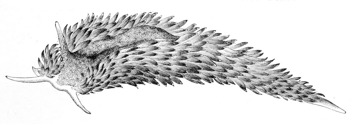 https://upload.wikimedia.org/wikipedia/commons/2/27/Aeolidia_papillosa_drawing.jpg