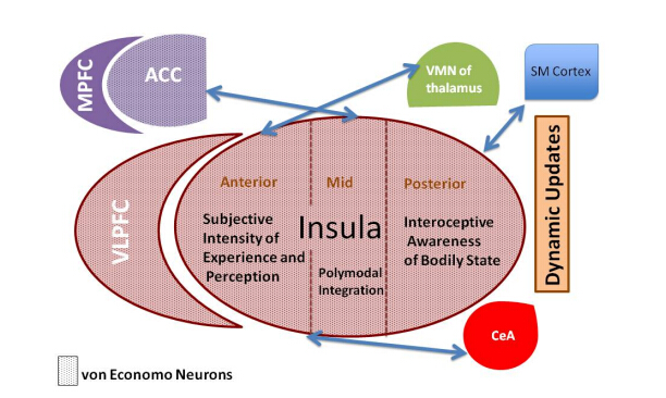File:Anatomy of insula.jpg - Wikimedia Commons