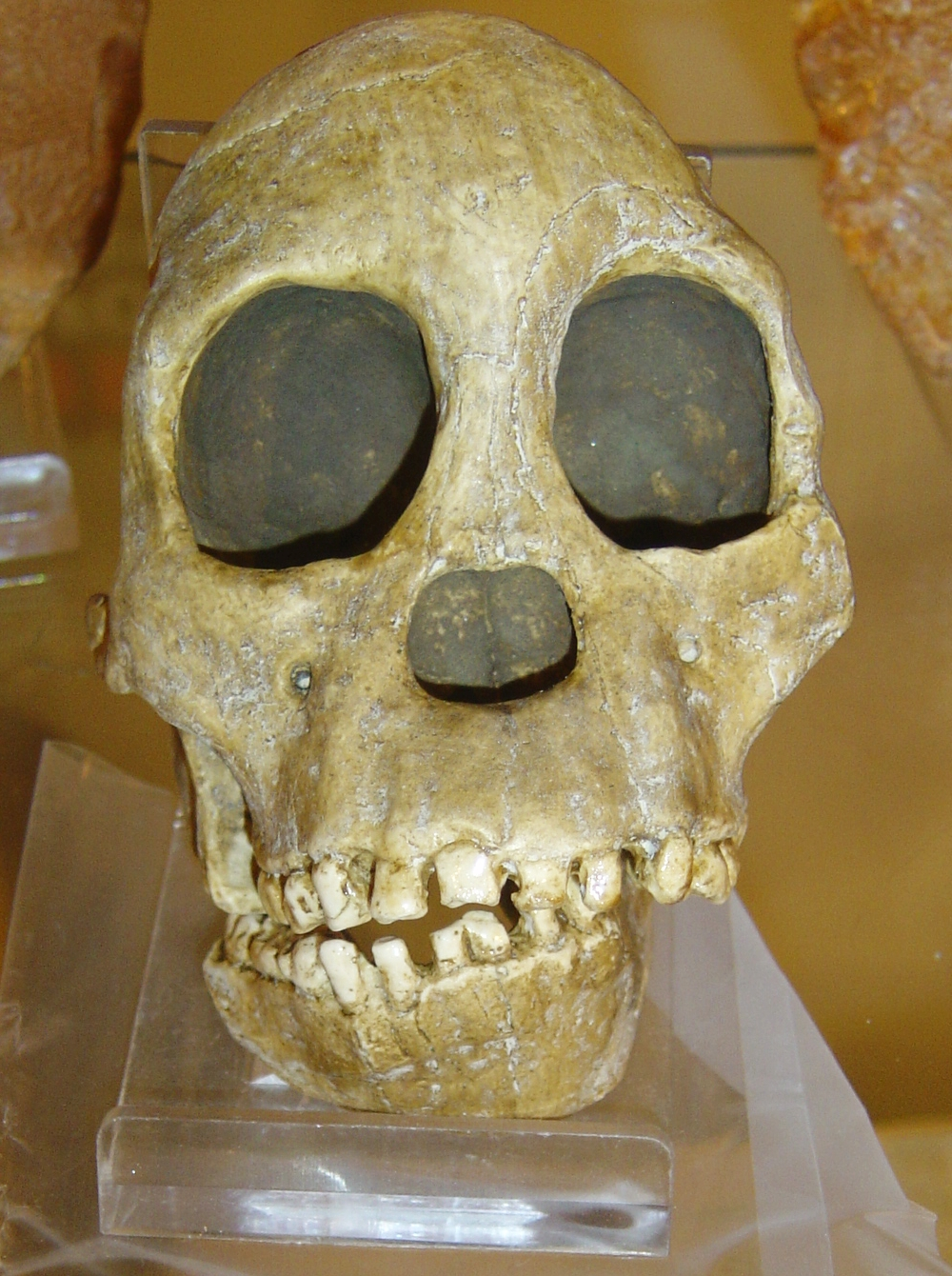 File:Australopithecus africanus.jpg - Wikipedia, the free encyclopedia