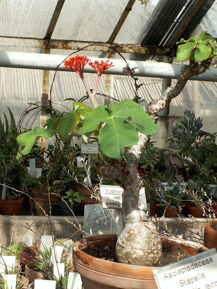 JATROPHA PODAGRICA 1 X AGED PLANT Buddha Belly or Coral plant RARE WHITE