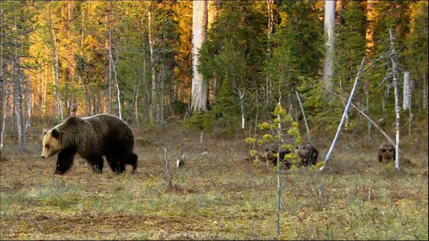 Bear Finland.png