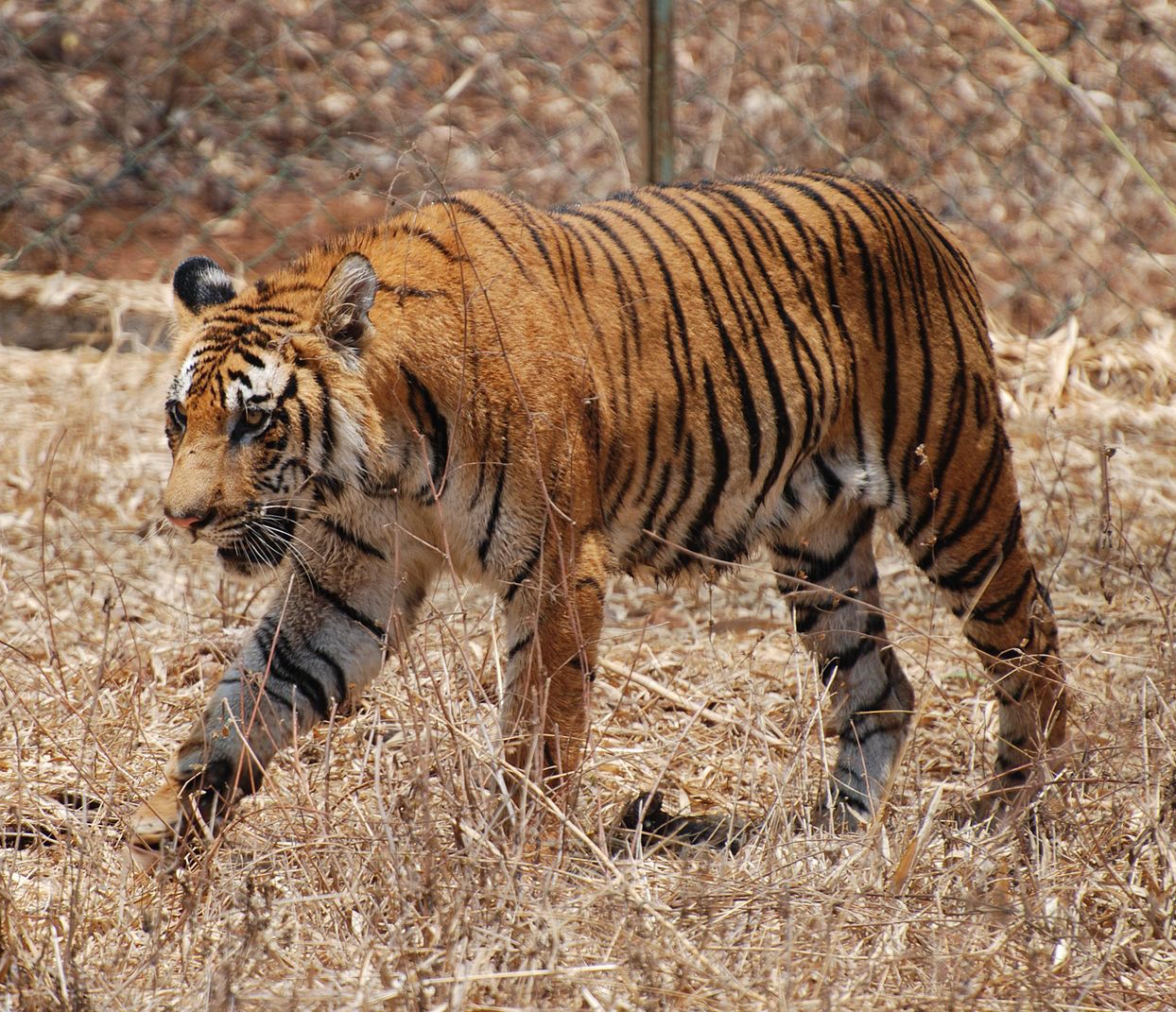 Description Bengal Tiger Karnataka.jpg