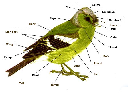 ... bird accurately by using standard names for each part of its body.