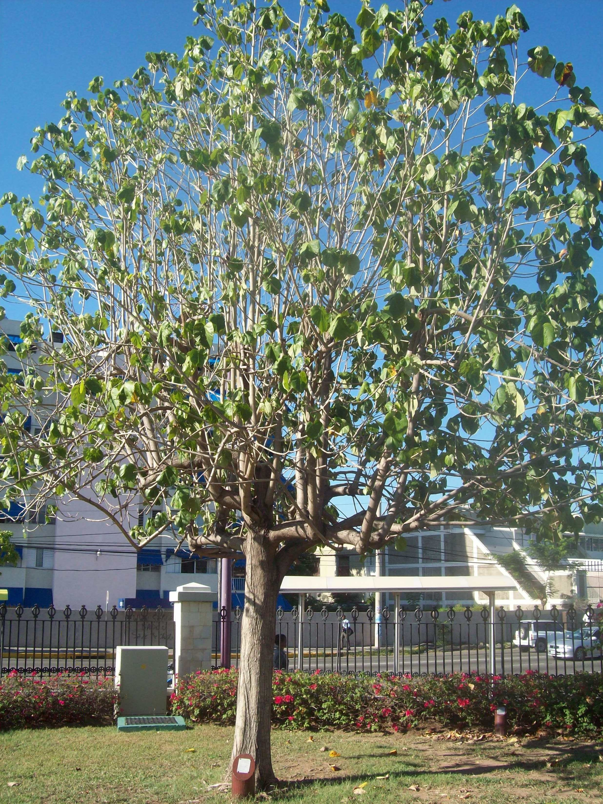 File:Blue Mahoe Tree.JPG - Wikimedia Commons