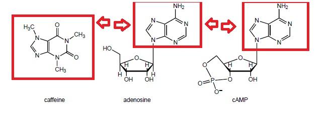 نتيجة بحث الصور عن adenosine receptor