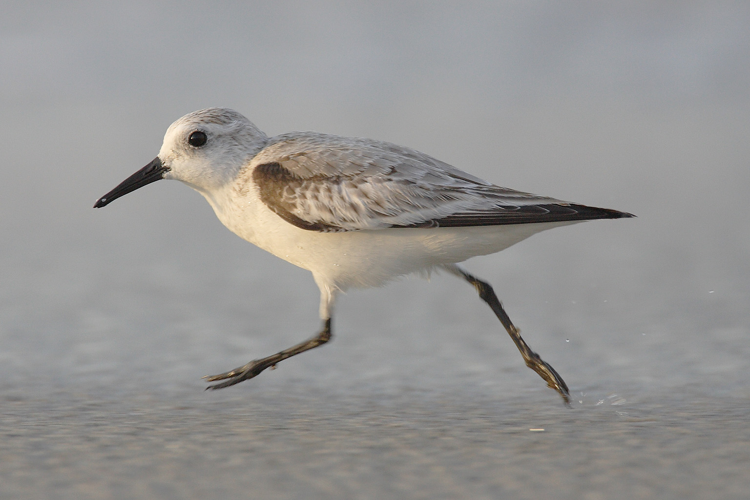 https://upload.wikimedia.org/wikipedia/commons/2/27/Calidris-alba-001.jpg