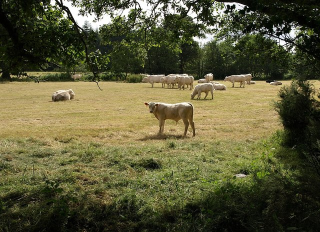 Cattle by Ventiford Brook - geograph.org.uk - 872895