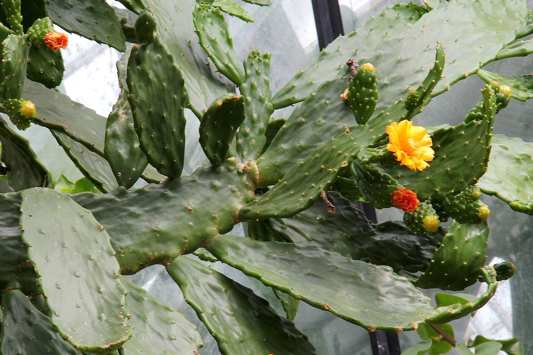 Αποτέλεσμα εικόνας για Consolea falcata