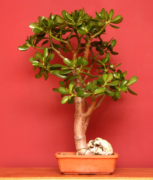 Crassula bonsai.jpg