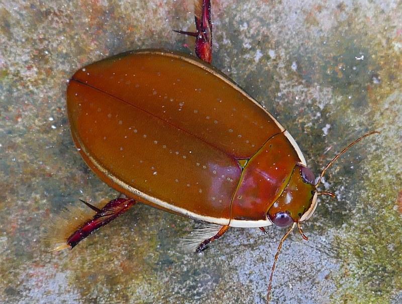 Dytiscidae Quiz