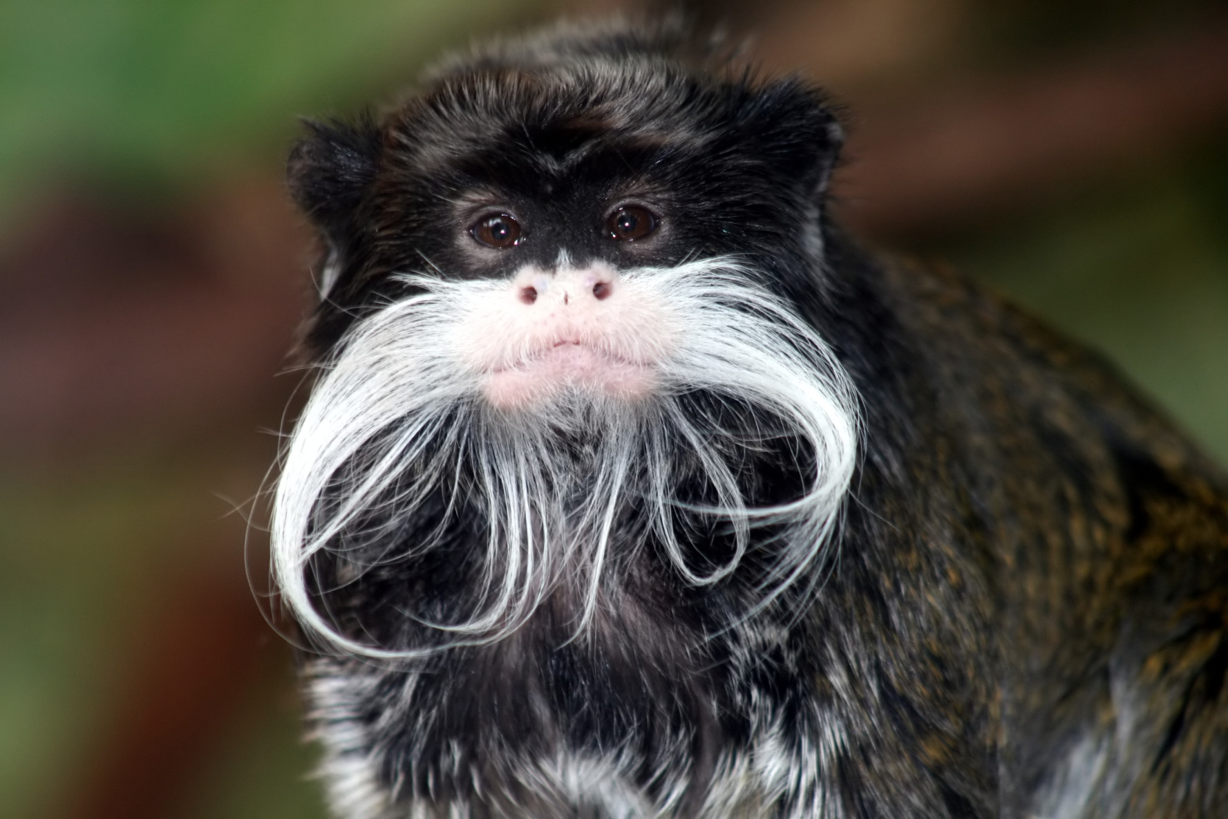 Emperor Tamarin-a new world monkey. name allegedly derived from its resemblance to the German Emperor Wilhelm II. (10DO)
