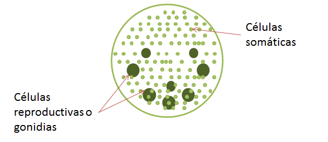File Esquema de la Estructura de Volvox png Wikimedia