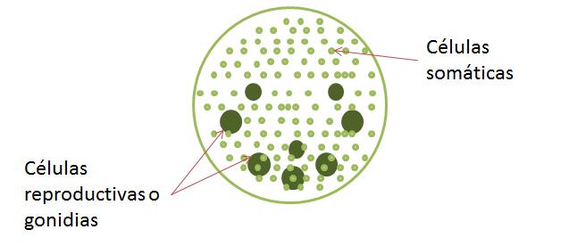 volvox protist diagram fungi like protist diagram file esquema de la estructura de volvox png wikimedia