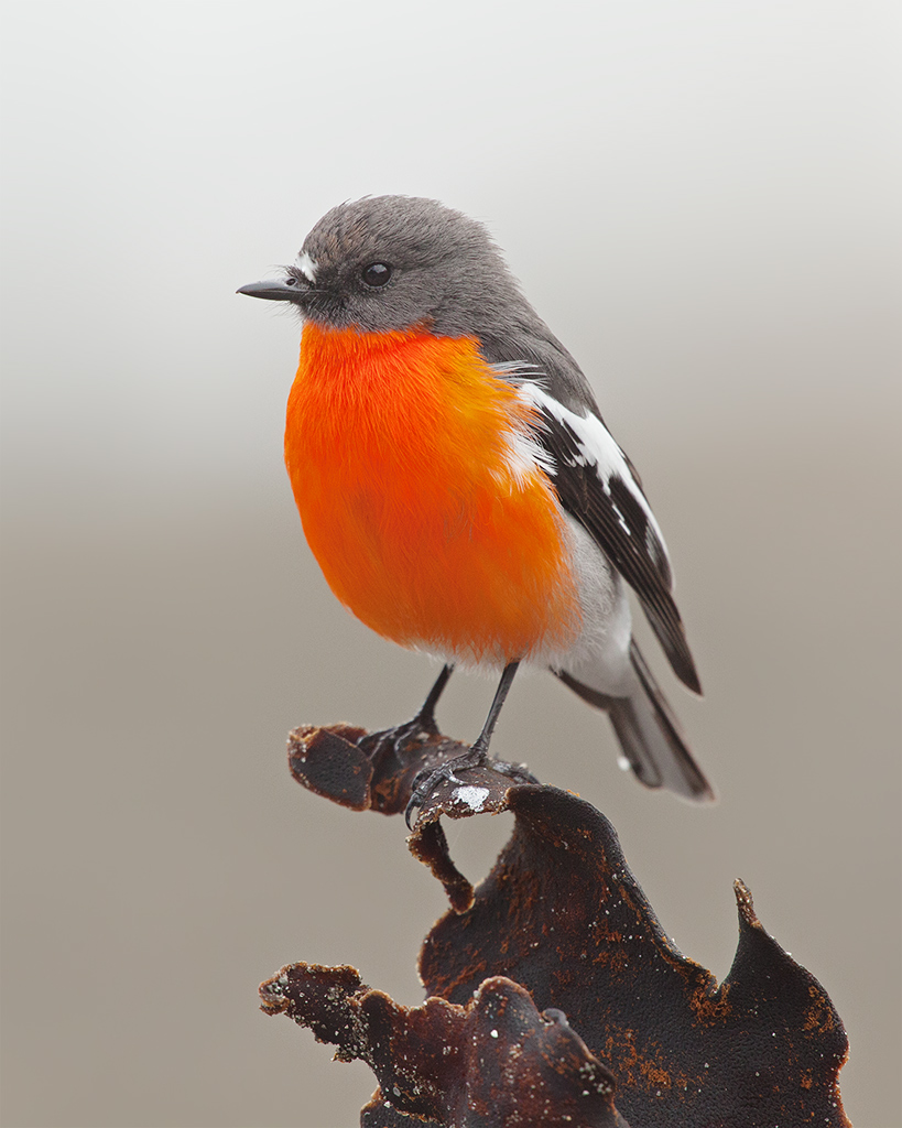 Red breasted robin bird