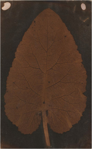 Salted paper photogram of a leaf, circa 1839. A speculative attribution to Wedgwood in 2008 was later retired. Foglia wedgwood.jpg