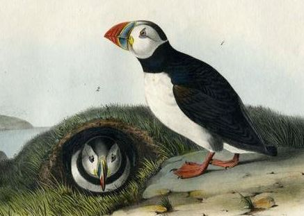 File:Fratercula arctica (Audubon).jpg - Wikimedia Commons