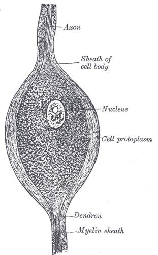 Bipolare Nervenzelle - Wikiwand