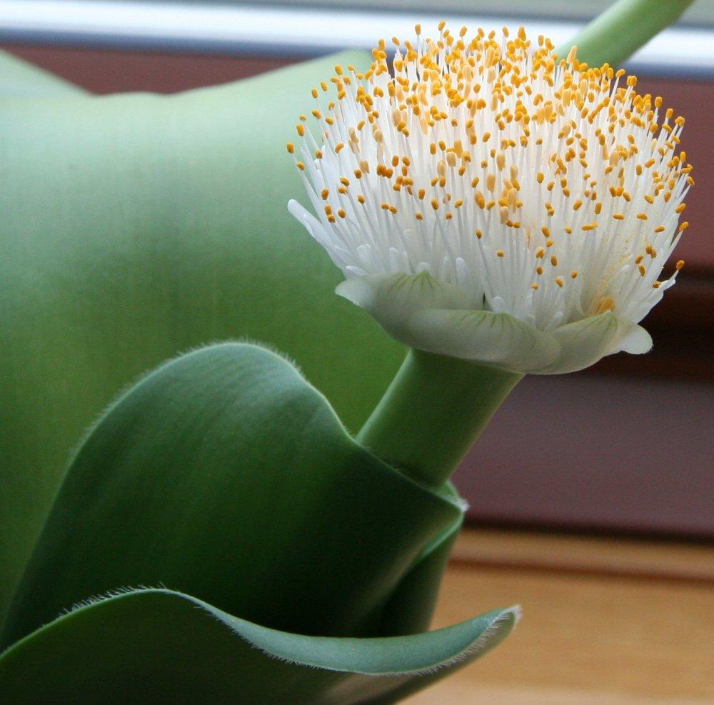 Луковичные растения  Комнатные растения и цветы