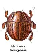 Haeterius ferrugineus.jpg