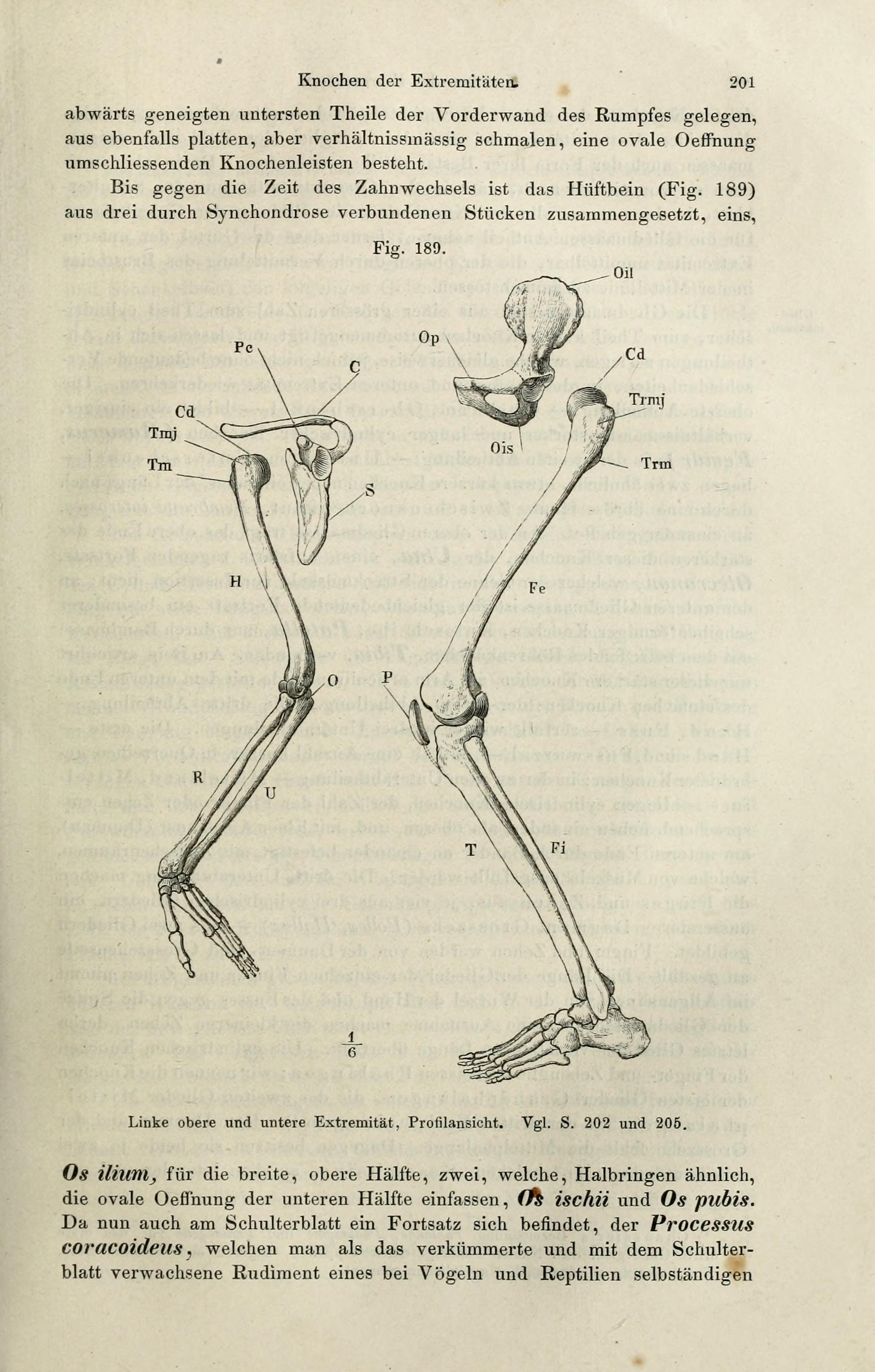 File:Handbuch der systematischen Anatomie des Menschen (Page 201 ...