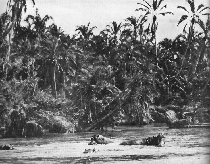 File:Hippopotami on a Congolese river.jpg