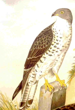 honey buzzard, Pernis apivorus Image from http...