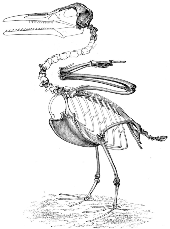 file ichthyornis skeleton jpg wikimedia commons