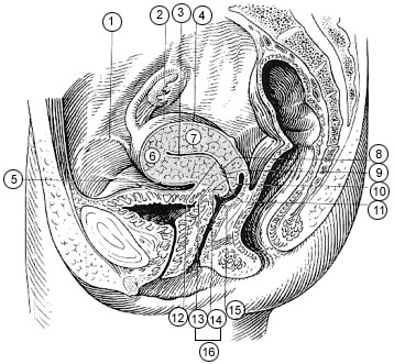 Vaginal portion of cervix