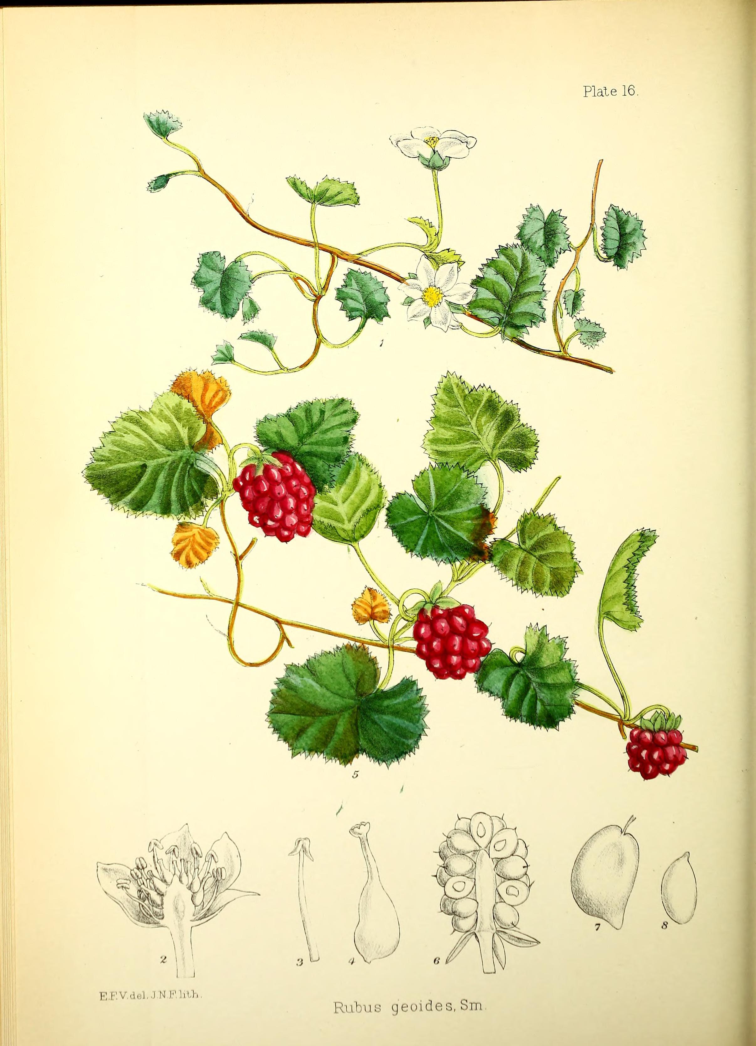 ファイル illustrations of the flowering plants and ferns of the