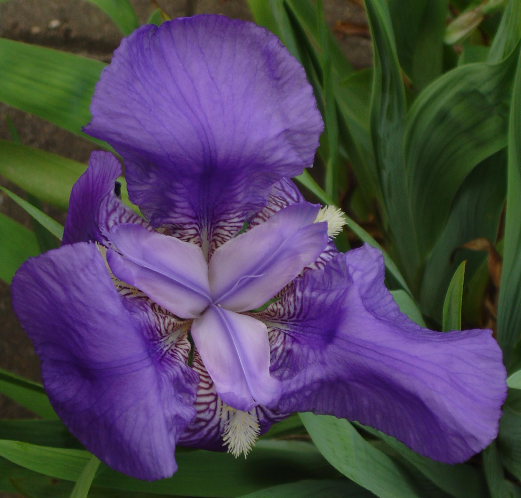 File iris germanica wikimedia commons - Iris germanica ...
