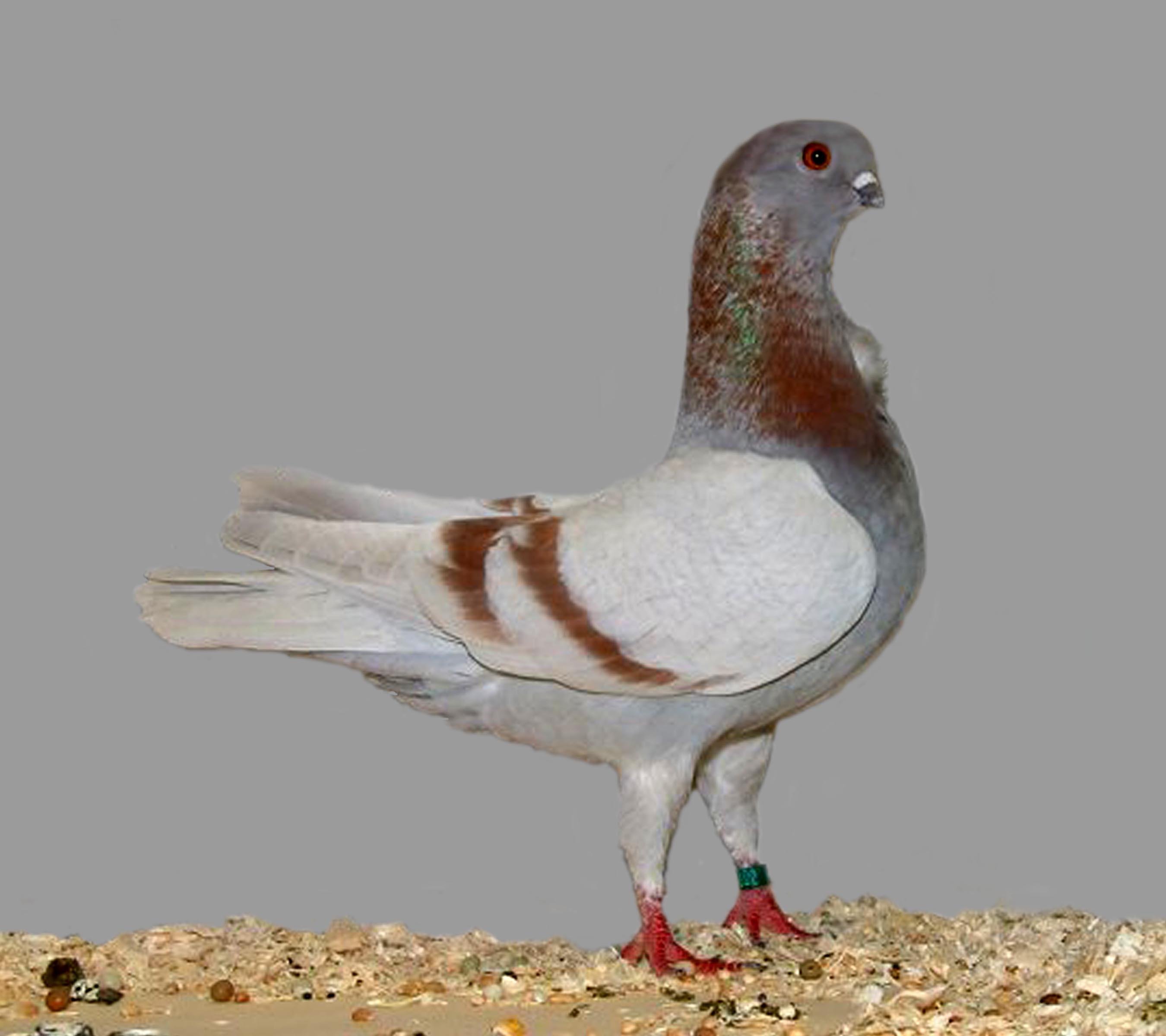 velké italské ptáky