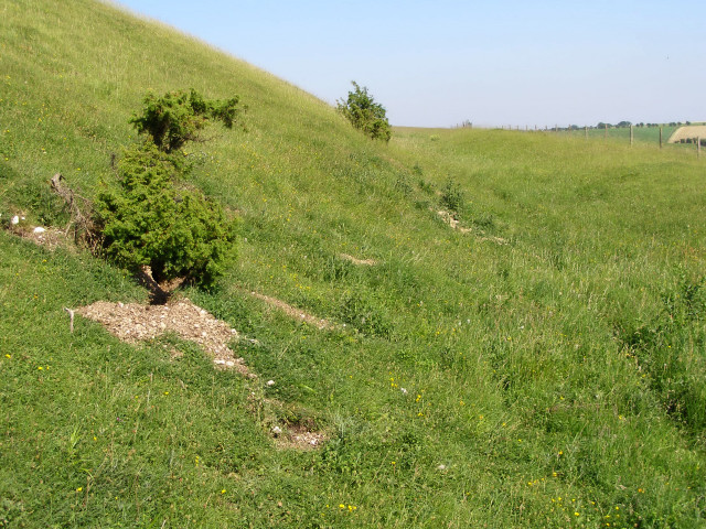 Juniper bushes on the south-facing rampart of Old Winchester Hill - geograph.org.uk - 189806