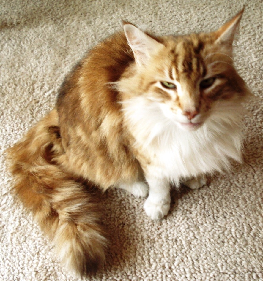 Maine Coon Cat Is Loosingigs Tail Hair