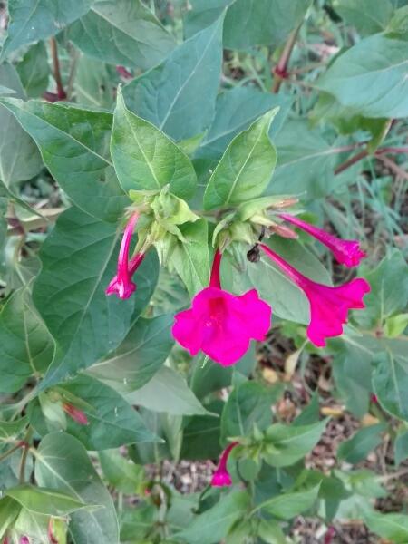 Repousse de fleurs sur un bord de route  correspond à des mirabilis jalapa