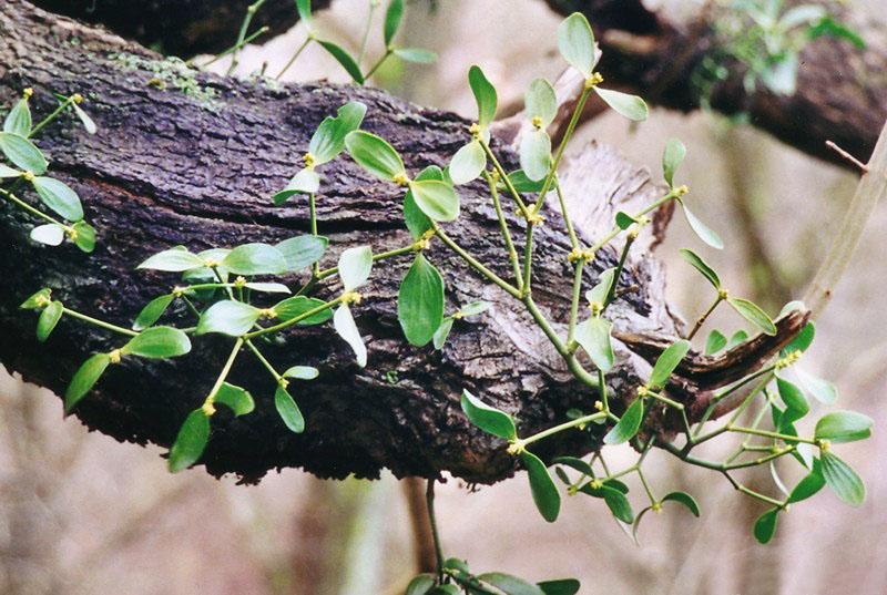 Pflanze für die Misteltherapie