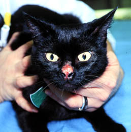 Rodent Ulcer Cat Home Remedy