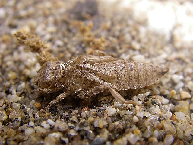 File:Onychogomphus uncatus exuvium.jpg