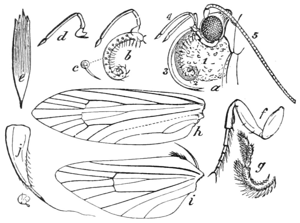 PSM V41 D186 Generic characters of pronuba yuccasella.jpg