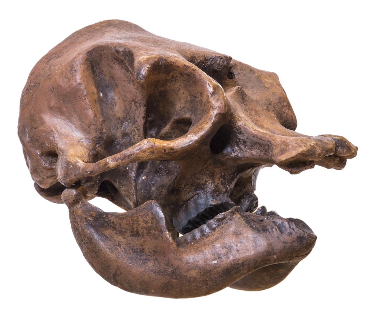 online store 10458 af817 File:Palaeoloxodon falconeri - skull - MUSE.jpg - Wikimedia ...