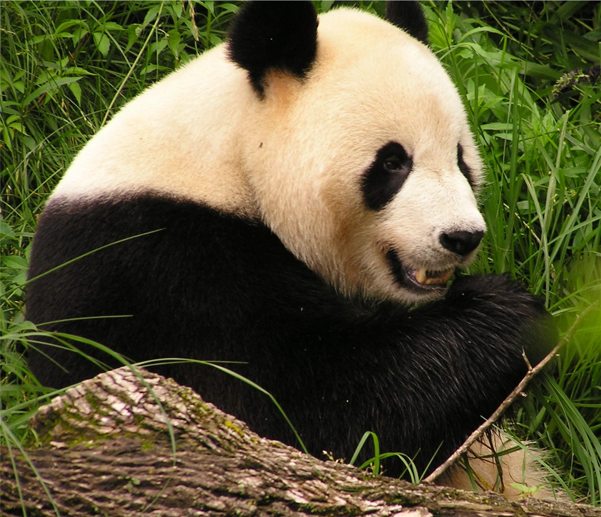 Nærbilde av panda