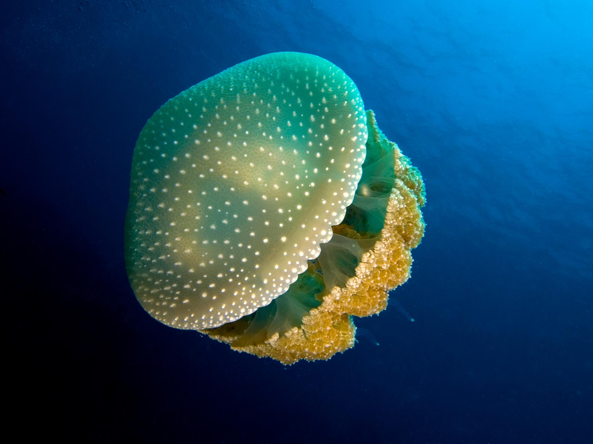 U Wish Jellyfish 15 Remarkable F...