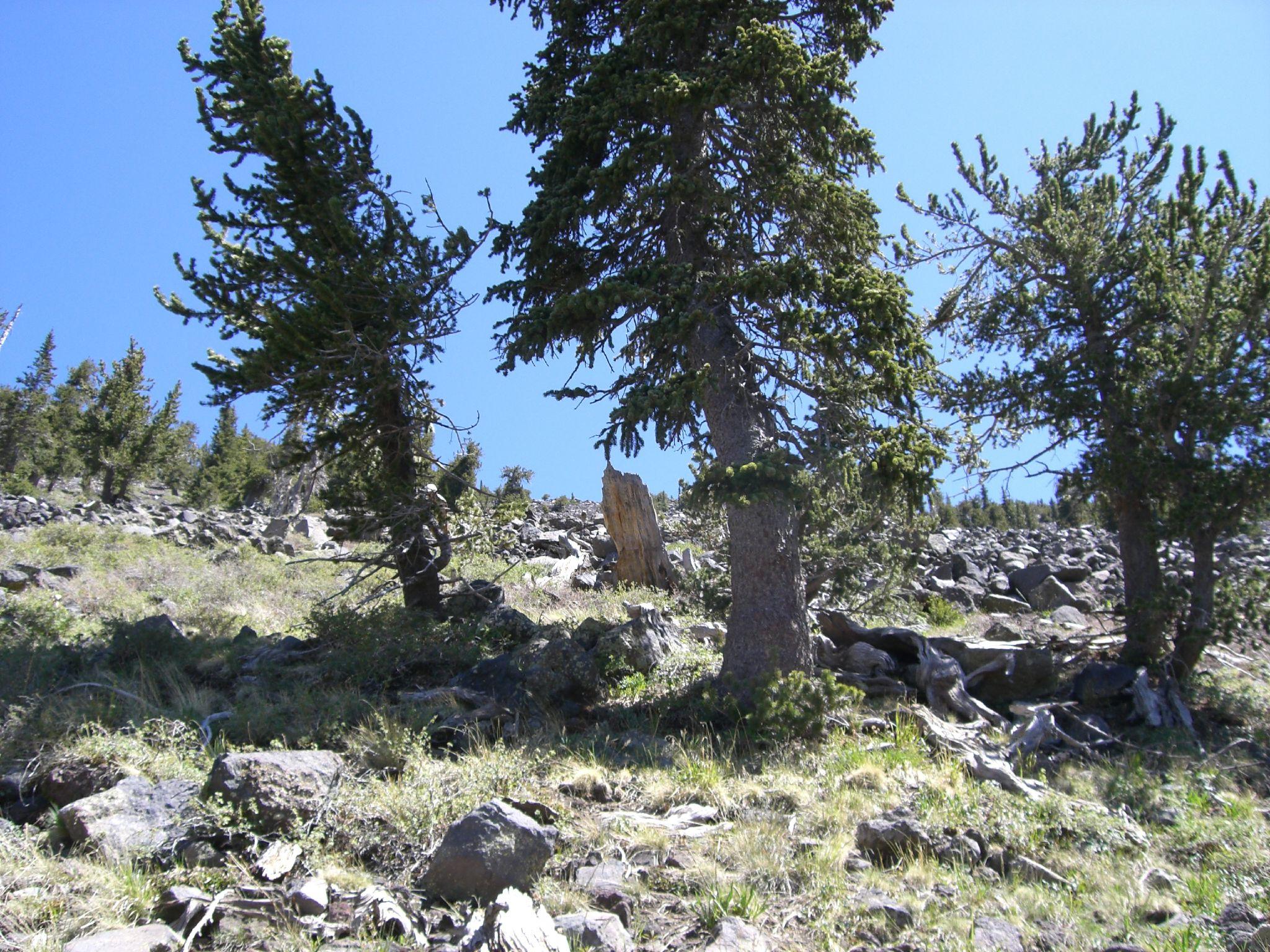 Pinus Aristata Wikipedia