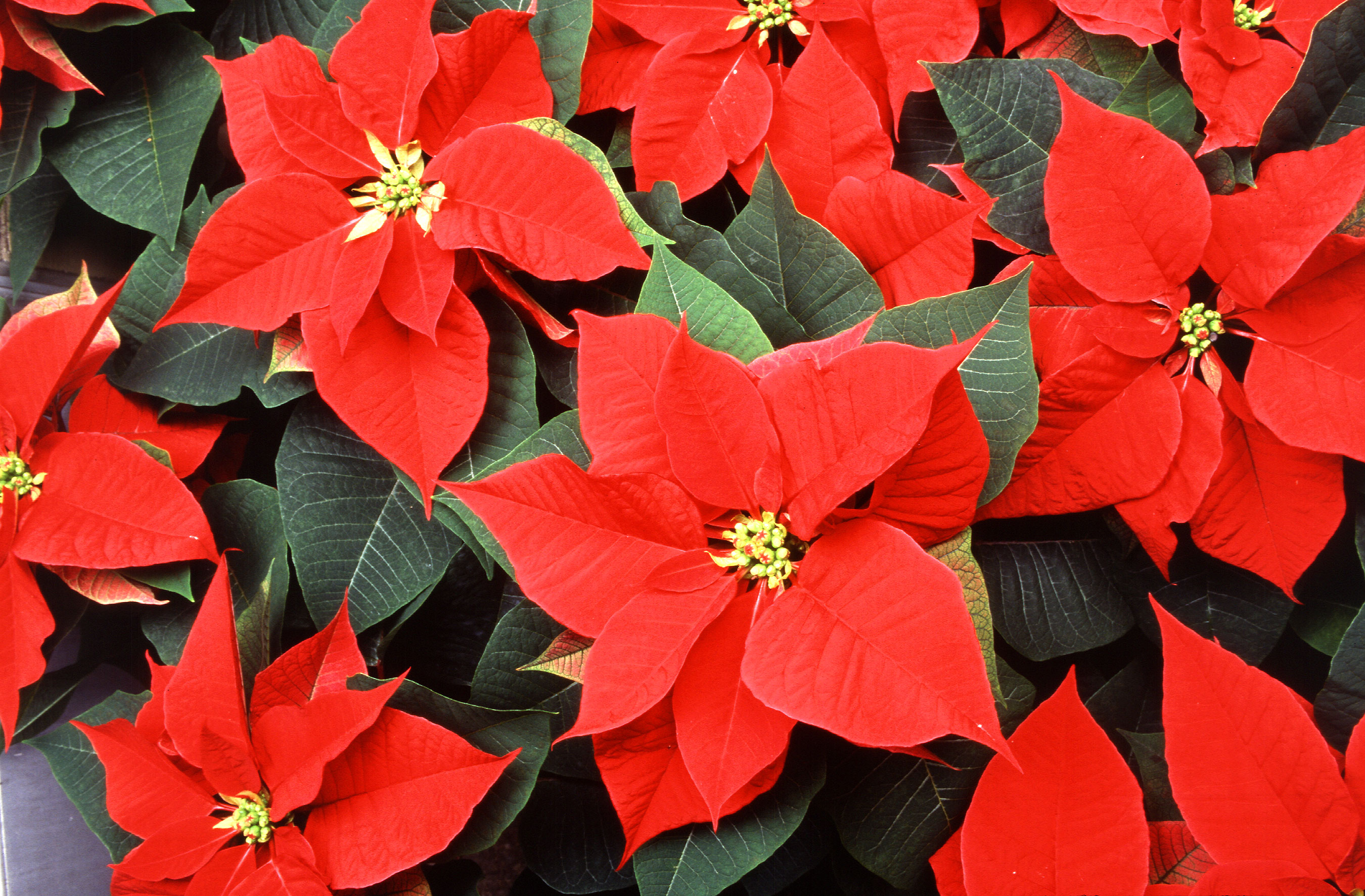 poinsettia itu0027s just not christmas without them - Christmas Poinsettia