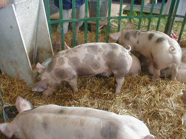 Pietrain pigs - photo#23