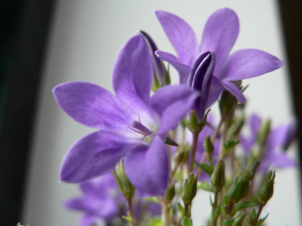 Description Purple flowers close up photo jpgLavender Flower Close Up