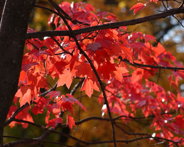 Jeff Dean Photography, Deciduous Trees, Fall Color Trees, Red leaf trees