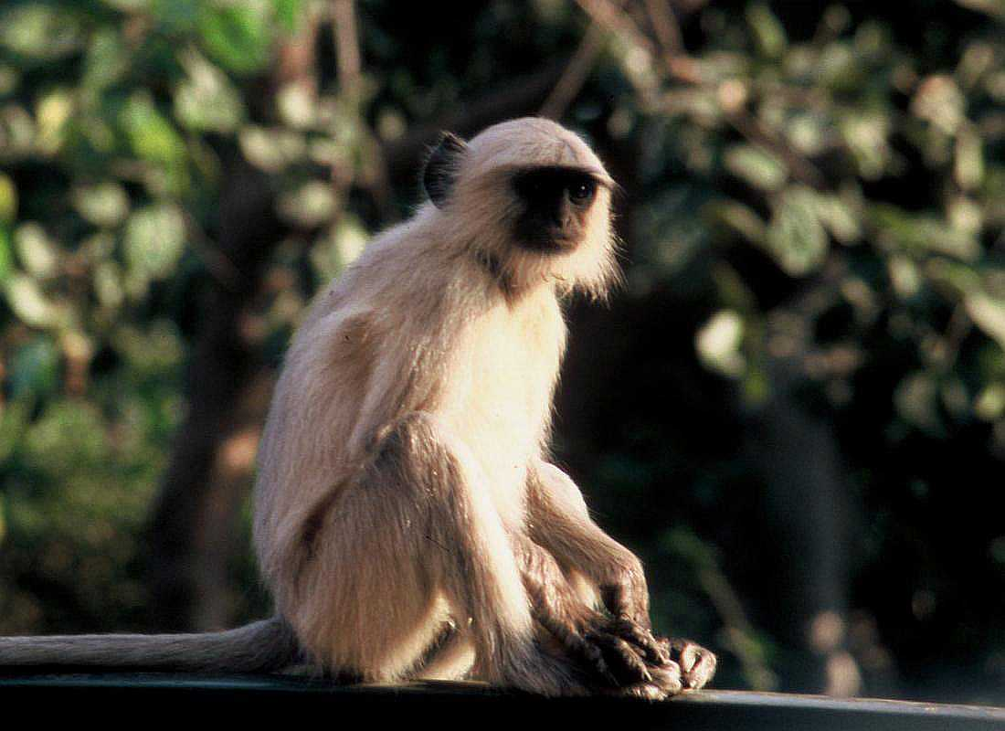 https://upload.wikimedia.org/wikipedia/commons/2/27/Semnopithecus_spec_Rajastan.jpg