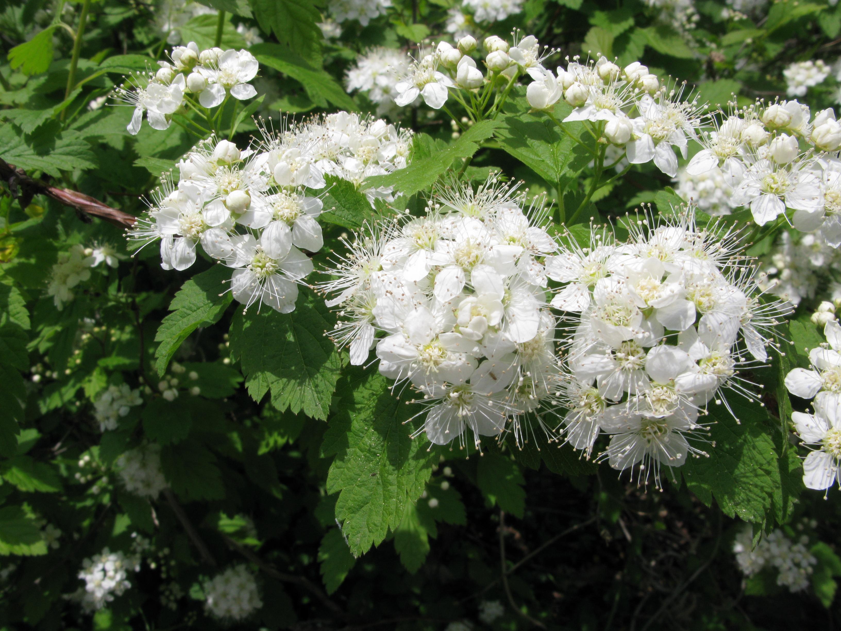File:Spiraea chamaedryfolia var. pilosa 3 ...