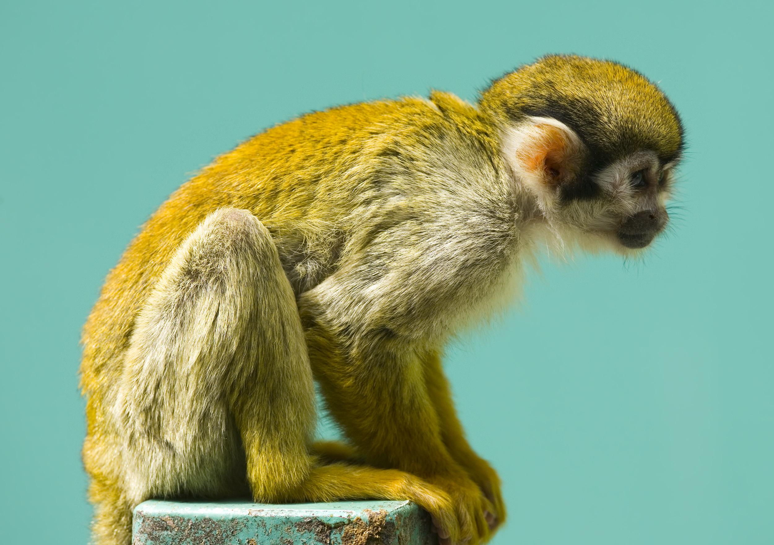 filesquirrel monkey fujijpg wikipedia